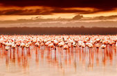 African flamingos on sunset — Foto Stock