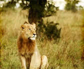 Young wild african lion — Stock Photo