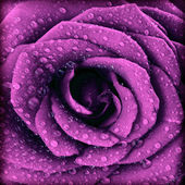 Purple dark rose background — Stock Photo
