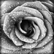 Black and white rose background - Stock Photo