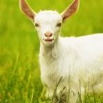 Cute goat portrait — Stock Photo #8859167