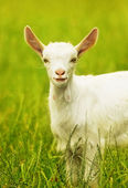 Cute goat portrait — Stock Photo