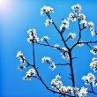 Stock Photo: Blooming tree branch over blue sky