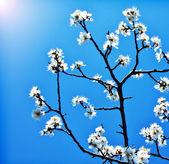 Blooming tree branch over blue sky — Foto de Stock