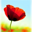 Blooming flower poppy field — Stock Photo #9314801