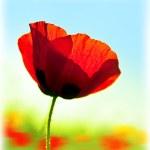 Blooming flower poppy field — Stock Photo