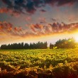 Stunning sunset landscape of grape field — Stock Photo