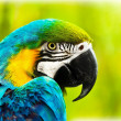 Exotic colorful African macaw parrot - Stock Photo