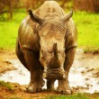 Stock Photo: Huge South Africrhino