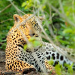 Wild leopard portrait - Stock Photo