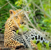 Wild leopard portrait — Stock Photo