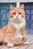 Ginger cat — Stock Photo