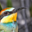 Nice colorful bee-eater — Stock Photo #10105356
