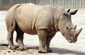 Rhinoceros impressive — Stock Photo