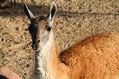 Lama of Peru — Stock Photo