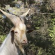 Stock Photo: Alpine white goat