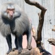 papion baboon attentive leader of the pack — Stock Photo