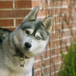 Siberian husky in the foreground — Stock Photo