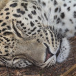 Royalty-Free Stock Photo: Sleeping after eating leopard