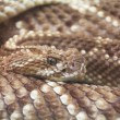 Royalty-Free Stock Photo: Terrifying rattlesnake coiled