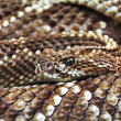 Terrifying rattlesnake coiled - Stock Photo