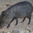 Iberian boars walking in the countryside - Stockfoto