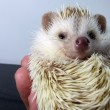Posing little African hedgehog - Stockfoto