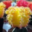 Small cactus of many colors — Stock Photo