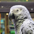 Near a Grey parrot portrait - Stockfoto