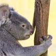 Koala in a Eucalyptus - Photo