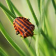 Black red striped bug - Stockfoto