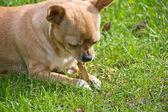 Young chihuahua biting clip — Stock Photo