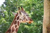 Closeup of a giraffe — Stock Photo