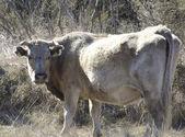 En el campo de la vaca — Foto de Stock
