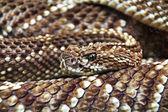 Terrifying rattlesnake coiled — Stock Photo