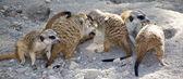 Meerkats family playing — Stock Photo