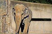 Elephant walk — Stock Photo