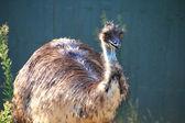 Wielki emu spaceru — Zdjęcie stockowe