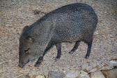 Iberian boars walking in the countryside — Stock Photo