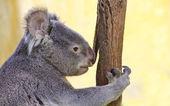 Koala in a Eucalyptus — Stock Photo