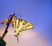Butterfly Papilion Machaon in a branch — Stock Photo