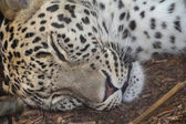 Sleeping after eating leopard — Stock Photo