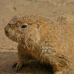 Prairie Dog Close-Up Portrait — Stock Photo #8313477