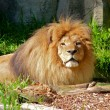Stock Photo: Male Lion resting in the sun