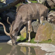 Royalty-Free Stock Photo: Kudu antelope drinking water