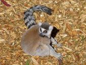 Ring tailed lemur looking alert — Stockfoto