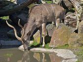 羚羚羊饮用水 — 图库照片