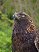 American Golden Eagle Portrait — Stock Photo