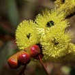Постер, плакат: Philips River Gum Eucalyptus Flowers