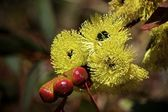Philips River Gum Eucalyptus Flowers — Stock Photo